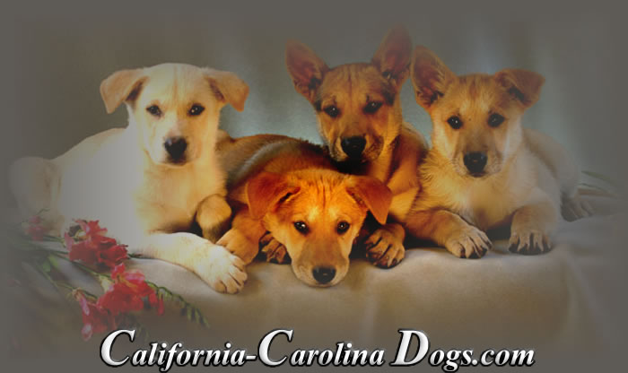 California Carolina Puppies